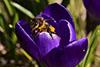 Vårens första bi,Svartedalen,tumbild,H838